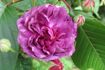 IMG_4628 Reine des Violettes